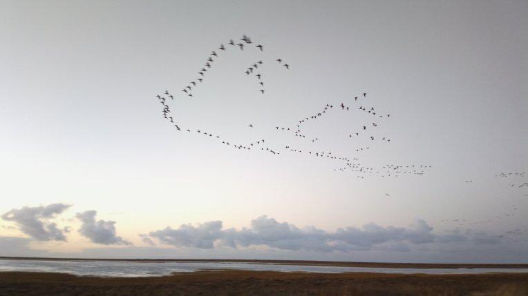 Geese flying across Blakeney Harbour at dusk