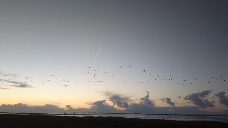 Geese in flight at Blakeney