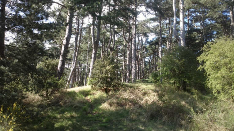 The Holkham Pines behind the dunes
