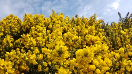 Gorse on Wiveton Down